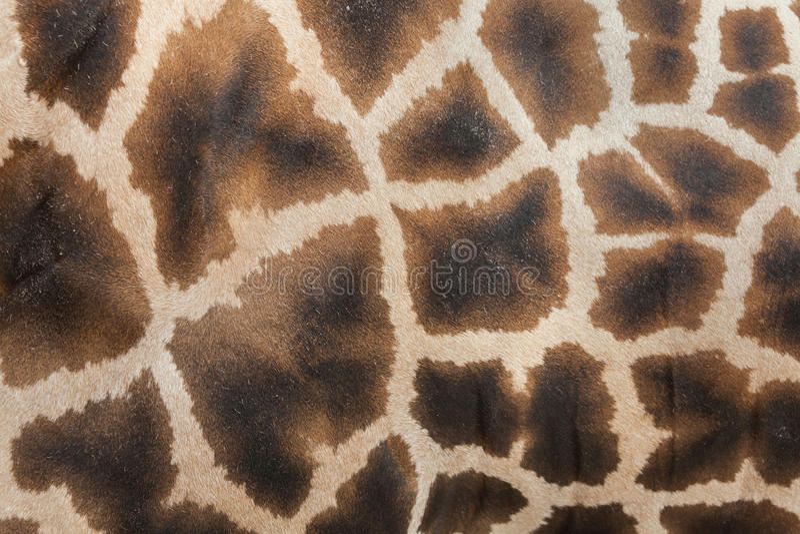 Camelopardalis del Giraffa de la jirafa Textura de la piel fotografía de archivo