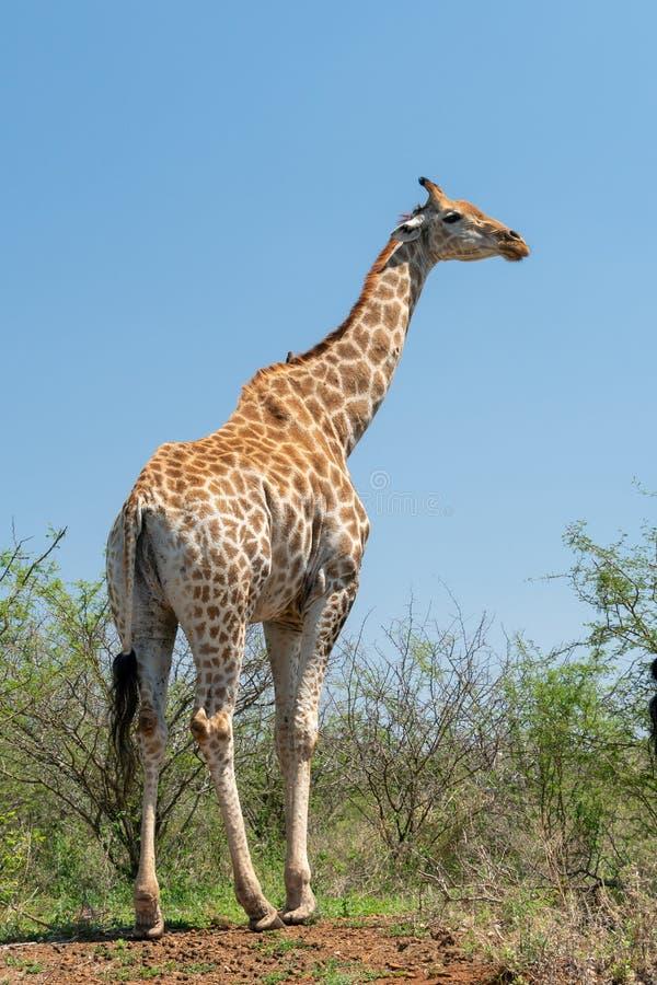 Camelopardalis die van girafgiraffa zich lang bevinden stock foto's