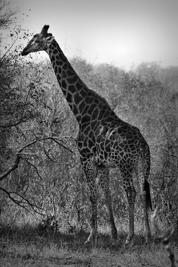 Camelopardalis do Giraffa do girafa, África do Sul imagem de stock royalty free