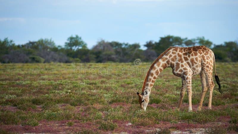 Camelopardalis do Giraffa do girafa que comem a grama no savana fotos de stock royalty free