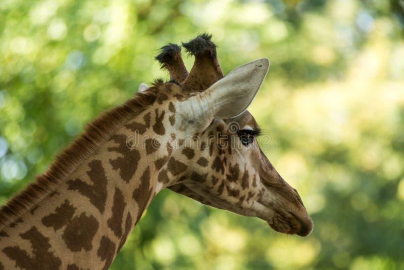 Camelopardalis Giraffa жирафа, африканское ровн-toed млекопитающее копытного животного, самое высокорослое всего extant земл-живя стоковые изображения rf