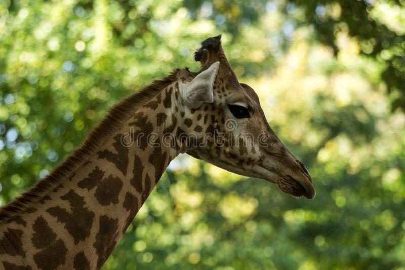 Camelopardalis Giraffa жирафа, африканское ровн-toed млекопитающее копытного животного, самое высокорослое всего extant земл-живя стоковые фото