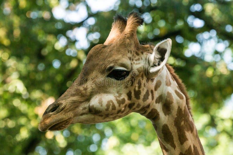 Camelopardalis Giraffa жирафа, африканское ровн-toed млекопитающее копытного животного, самое высокорослое всего extant земл-живя стоковая фотография rf