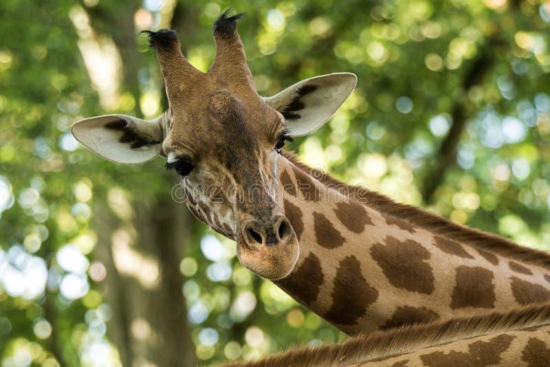 Camelopardalis Giraffa жирафа, африканское ровн-toed млекопитающее копытного животного, самое высокорослое всего extant земл-живя стоковое фото