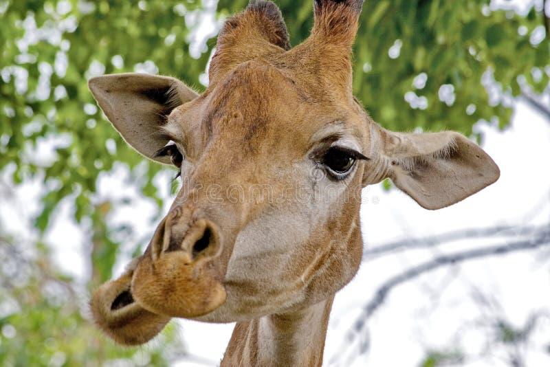 Camelopardalis van giraf glimlacht Latijnse Giraffa close-up Netwerkgiraf Wilde aard De giraf is het hoogste aardse dier royalty-vrije stock foto's