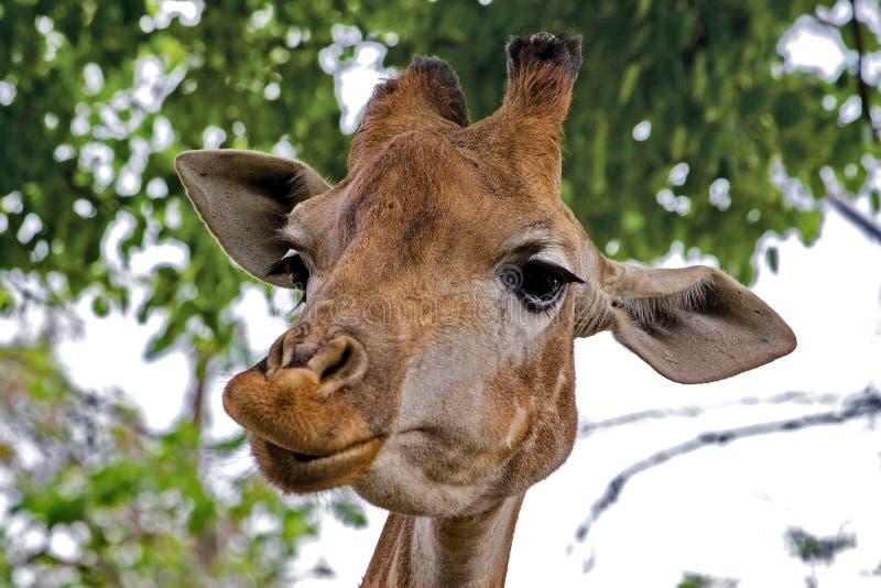 Camelopardalis van giraf glimlacht Latijnse Giraffa close-up Netwerkgiraf Wilde aard De giraf is het hoogste aardse dier stock foto