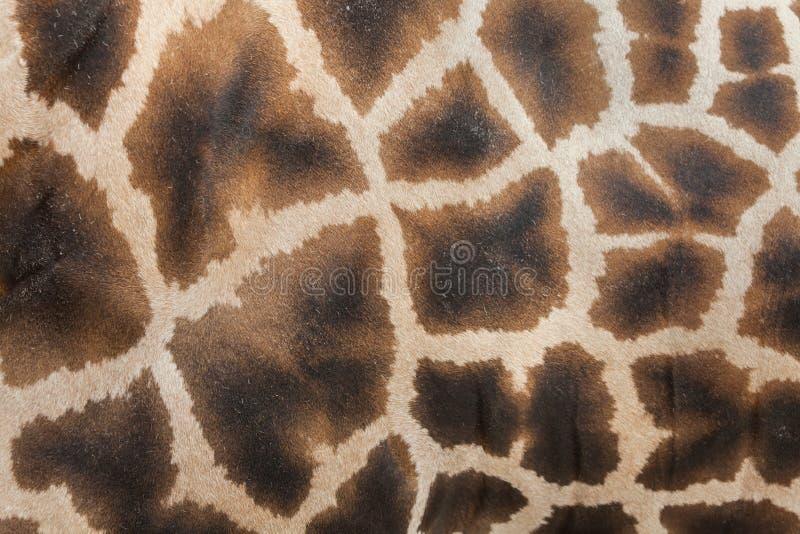 Camelopardalis van girafgiraffa De textuur van de huid stock fotografie