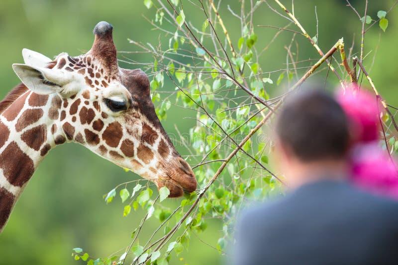 Camelopardalis van girafgiraffa in een dierentuin royalty-vrije stock afbeeldingen