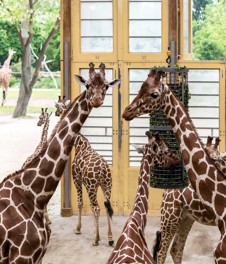 Camelopardalisreticulata met een netvormig patroon die van giraffengiraffa, ook als de Somalische giraffen, na het voeden wordt b royalty-vrije stock foto's