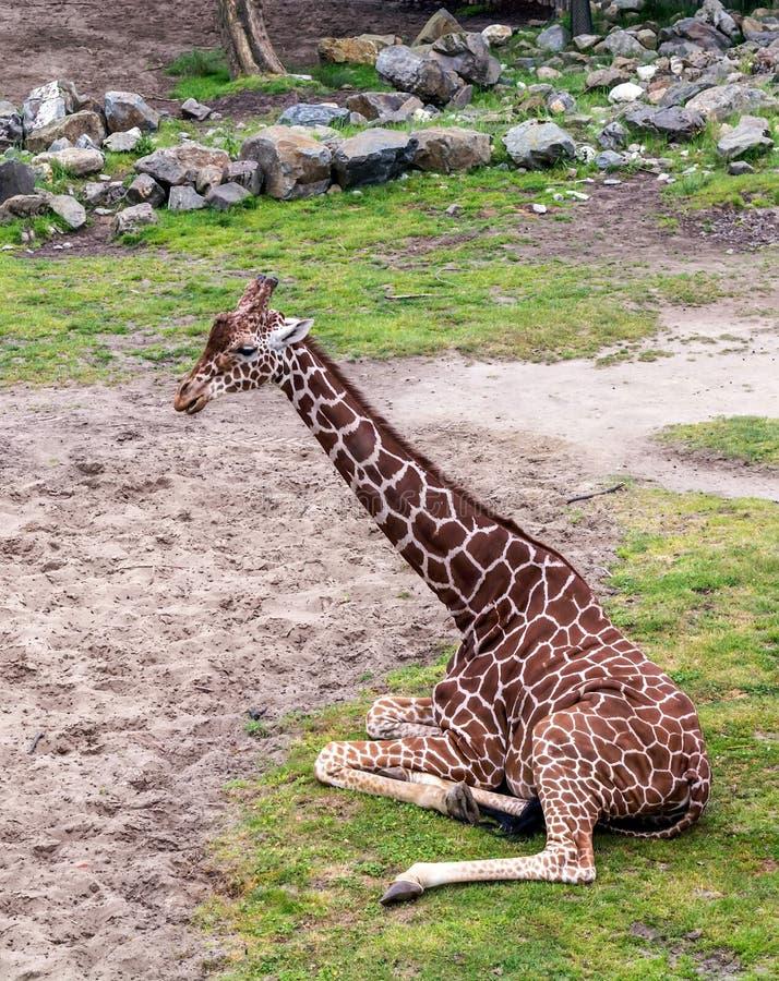 Camelopardalisreticulata met een netvormig patroon die van girafgiraffa, ook als de Somalische girafzitting wordt bekend op gazon stock afbeeldingen