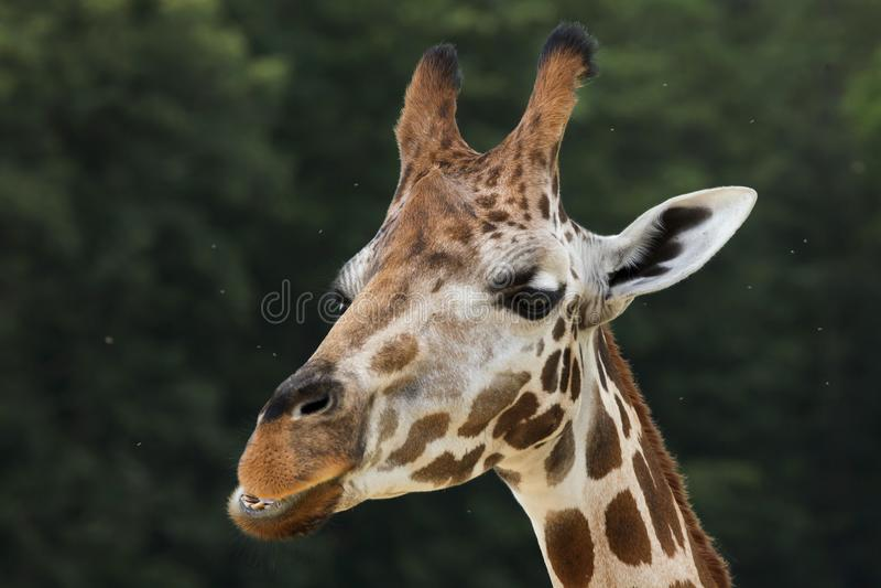 Camelopardalisrothschildi van Giraffa van de Rothschild` s giraf stock afbeelding