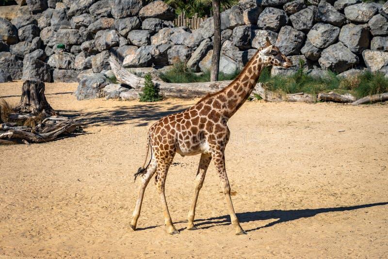 Camelopardalisrothschildi van Giraffa van de Rothschildsgiraf in de Dierentuin van Barcelona royalty-vrije stock foto's