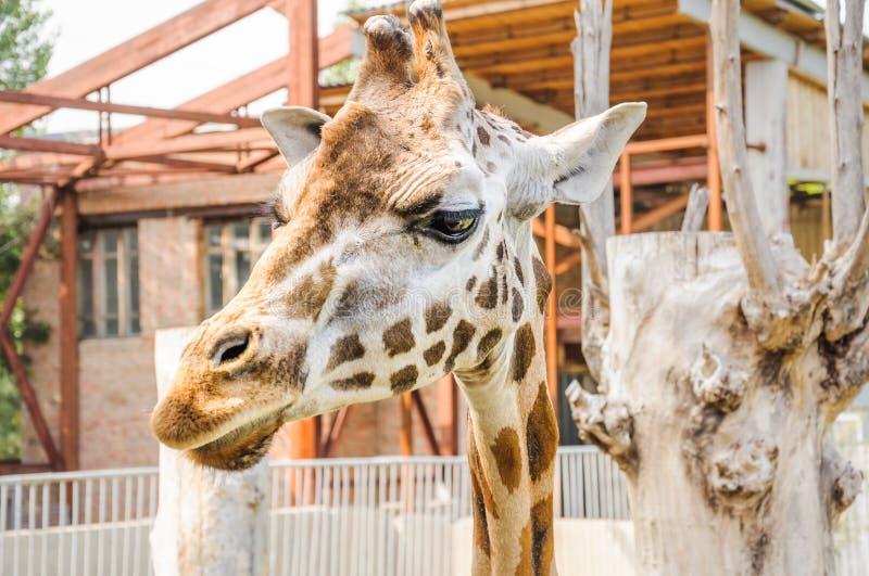 Camelopardalisrothschildi van Giraffa van de Rothschildgiraf stock afbeelding