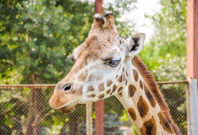 Camelopardalisrothschildi van Giraffa van de Rothschildgiraf stock afbeeldingen
