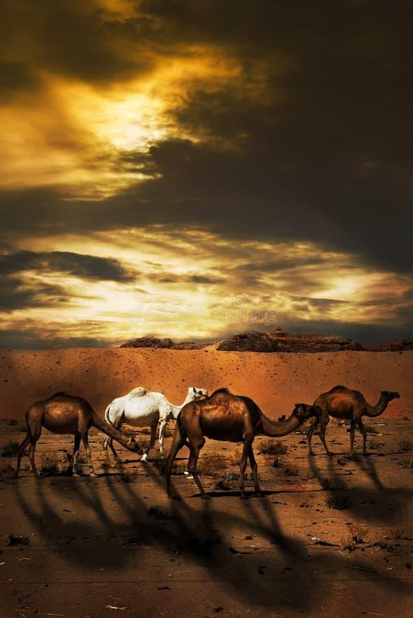 Camelos imagens de stock royalty free