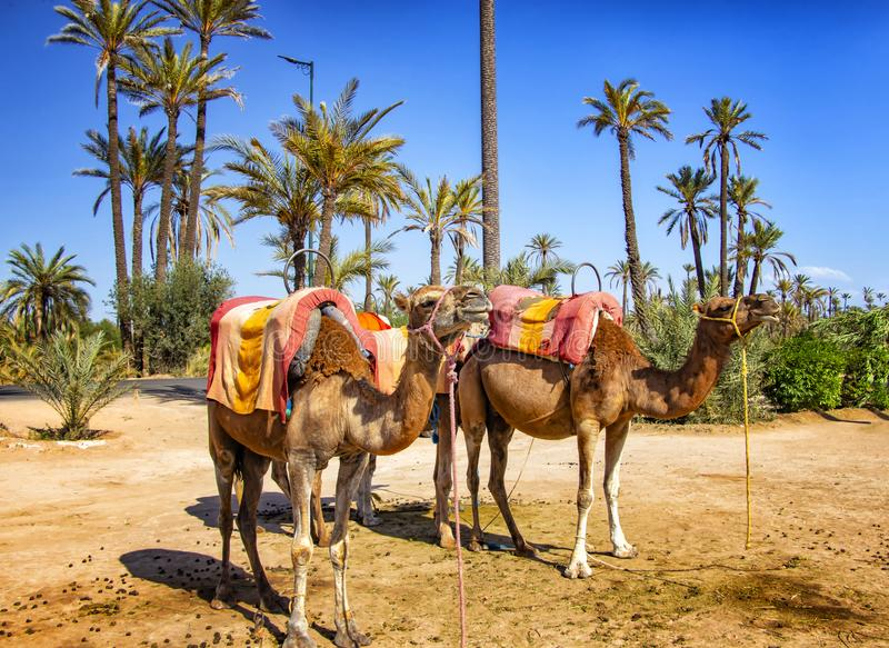 Camelos com as selas típicas do Berber em um Palmeraie perto de C4marraquexe, Marrocos O deserto de sahara é situado em África Dr fotografia de stock