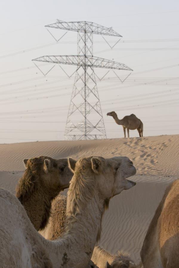 Camelos dos UAE Dubai em uma exploração agrícola no deserto fora de Dubai imagem de stock
