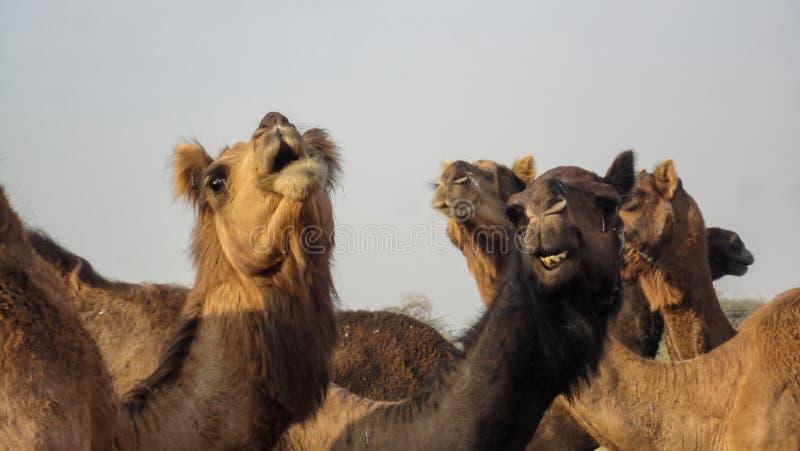 Camelos em Bikaner, Índia foto de stock