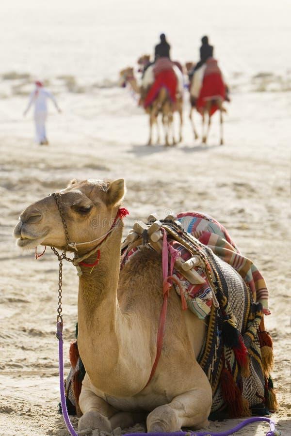 Camelos em um deserto árabe fotografia de stock royalty free
