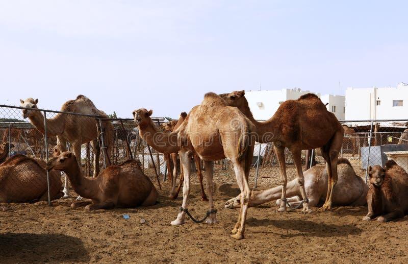 Camelos em uma pena em Doha fotografia de stock