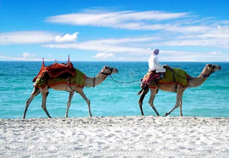 Camelos em uma praia de Dubai