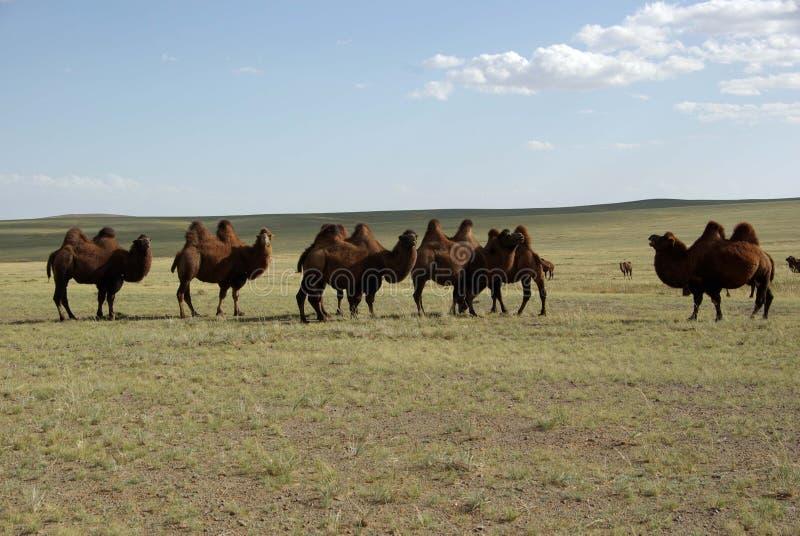 Camelos, Mongolia imagens de stock royalty free