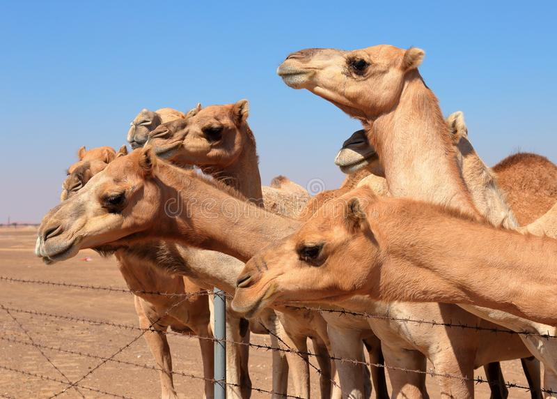 Camelos na exploração agrícola fotos de stock
