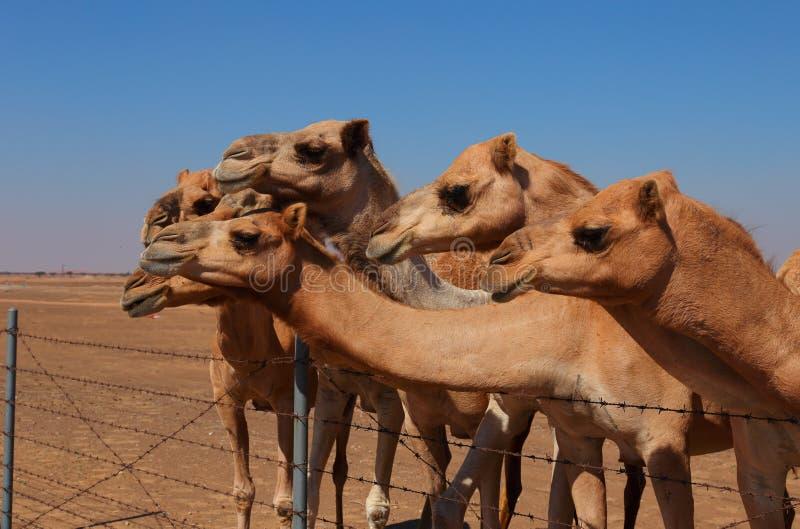 Camelos na exploração agrícola foto de stock