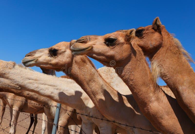 Camelos na exploração agrícola fotos de stock royalty free