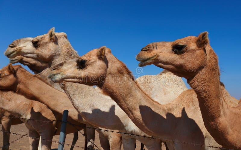 Camelos na exploração agrícola imagem de stock royalty free