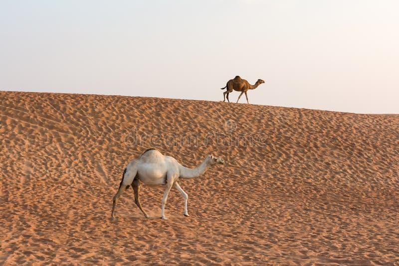 Camelos no deserto de Dubai, Emiratos Árabes Unidos imagens de stock royalty free