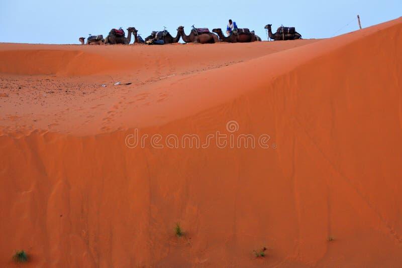 Camelos no deserto de Marrocos imagem de stock