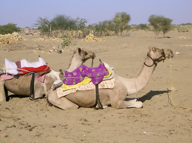 Camelos no deserto II imagem de stock royalty free