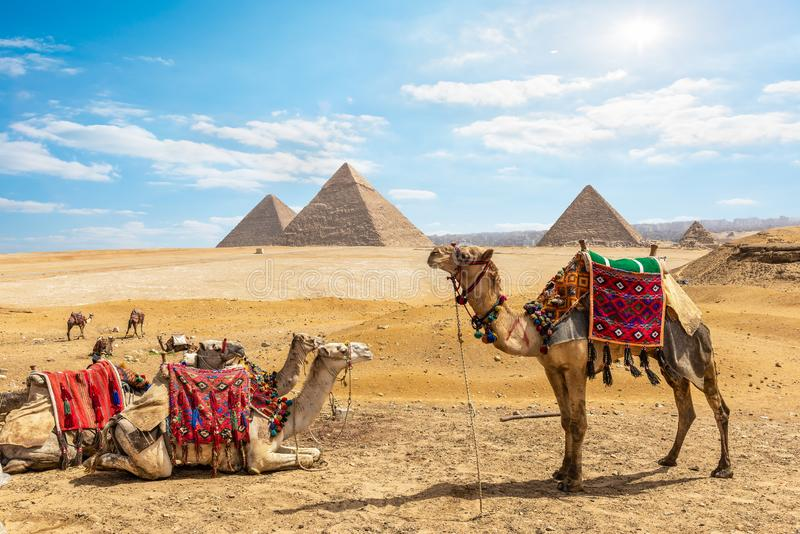 Camelos perto das pirâmides no Cairo fotografia de stock royalty free