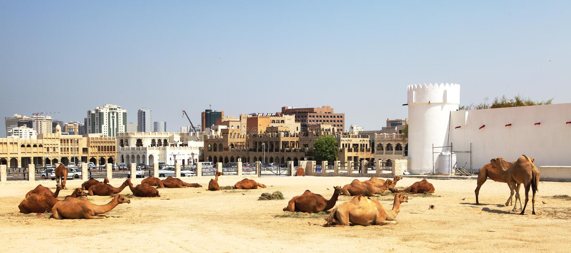Camelos que descansam em Doha central foto de stock royalty free
