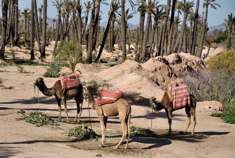 Camelos que esperam turistas em C4marraquexe imagem de stock