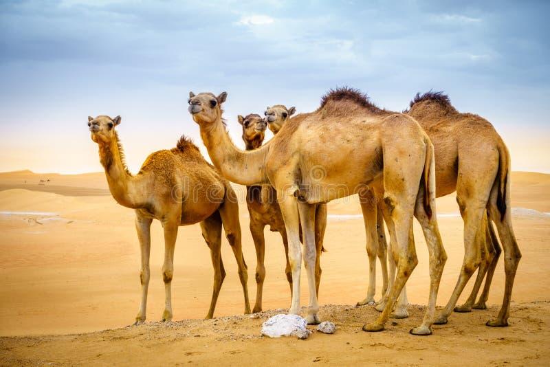 Camelos selvagens no deserto imagens de stock royalty free