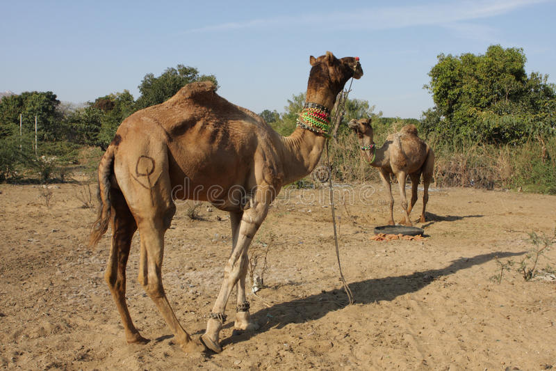 Download Camels Stock Image - Image: 12762721
