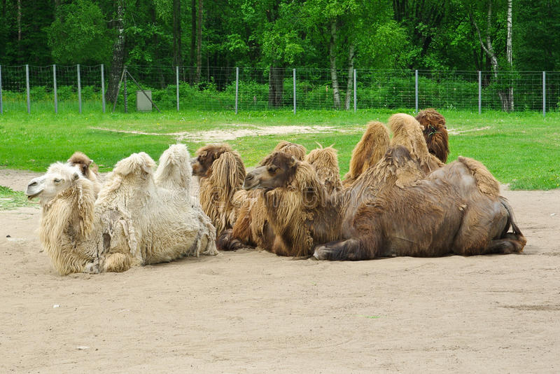 Download Camels stock image. Image of outdoor, nobody, colors - 14857331