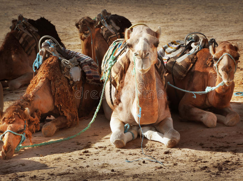 Download Camels stock photo. Image of group, dromedary, background - 26436918