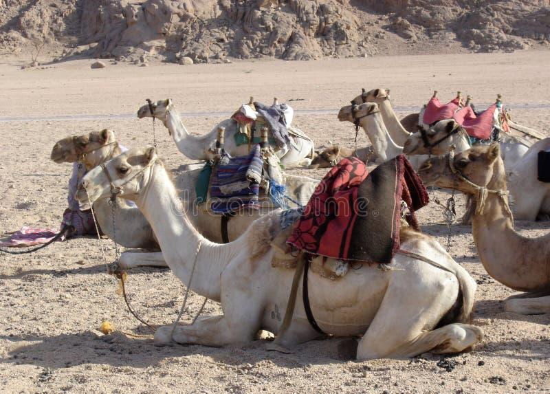 Camels. Sitting in the Sinai desert, outside of Sharm el Sheikh, Egypt stock photo