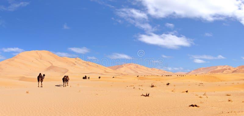 Camels in the Arabian Desert. Camels in the Rub Al Khali Desert in Oman royalty free stock photos