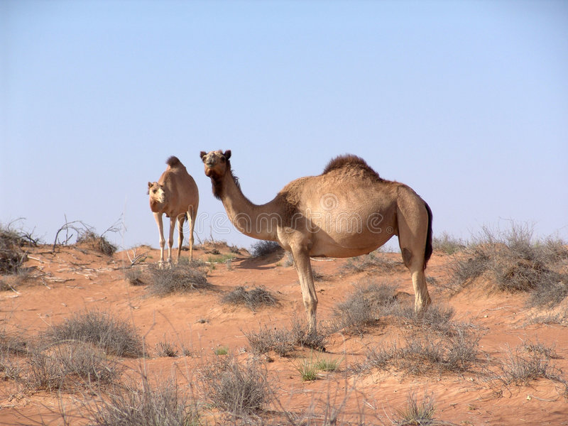 Camels in arabian desert stock image