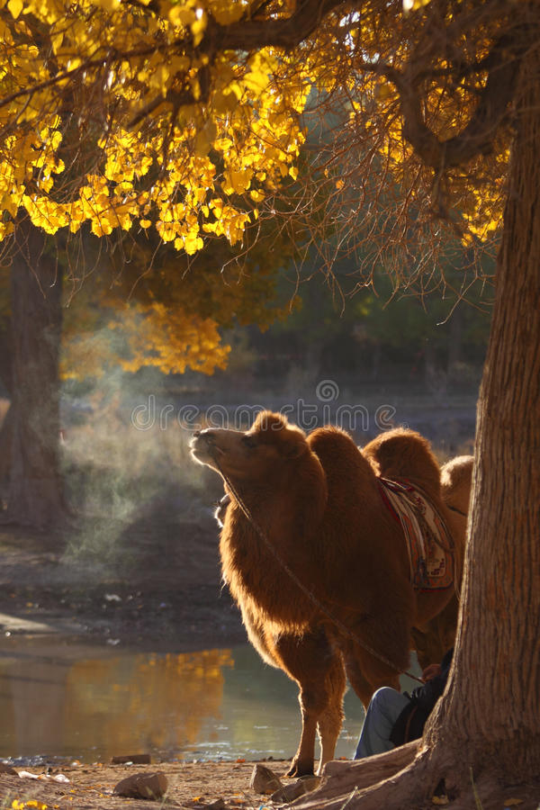 camels in autumn royalty free stock photos