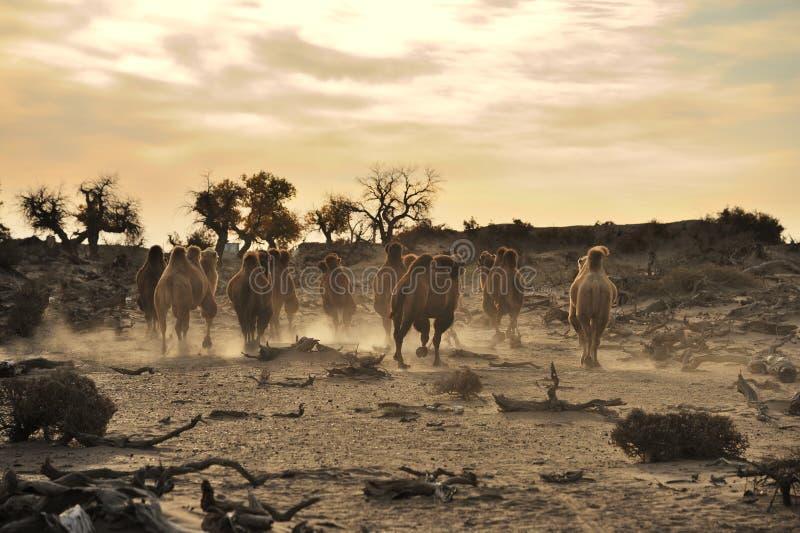 Camels in autumn  desert