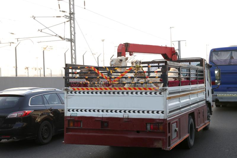 Camels on the back of truck on the highway of saudi arabia stock photography