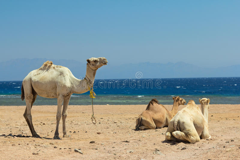 Download Camels on the beach stock image. Image of edge, arid - 26821411