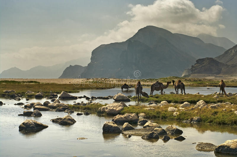 Camels on the beach, Oman royalty free stock photo