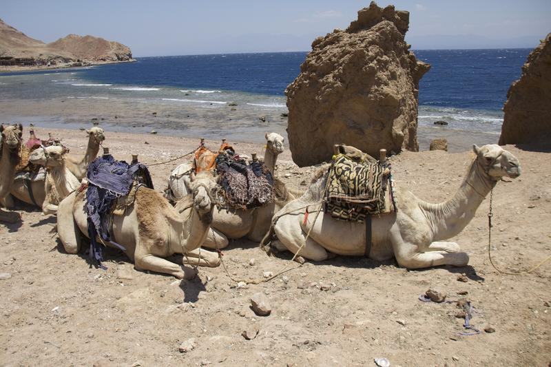Camels on the beach stock photo