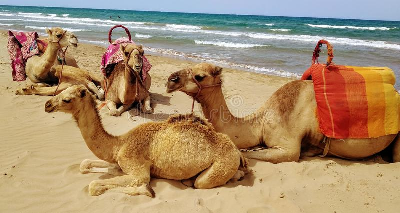 Camels in Beach royalty free stock photos